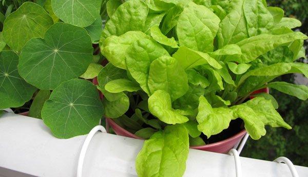 essbare balkonpflanzen mit kindern fr chte und gem se anbauen. Black Bedroom Furniture Sets. Home Design Ideas