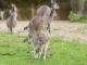 Zoo Basel westliches graues Riesenkaenguru
