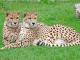 Gepard Foto: Tonis Zoo