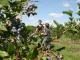 Beeren selber pflücken Foto: Juckerhof